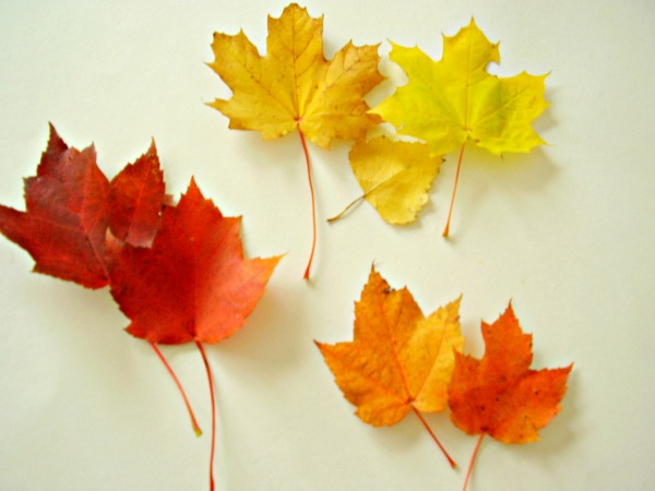 Sort autumn leaves with preschoolers