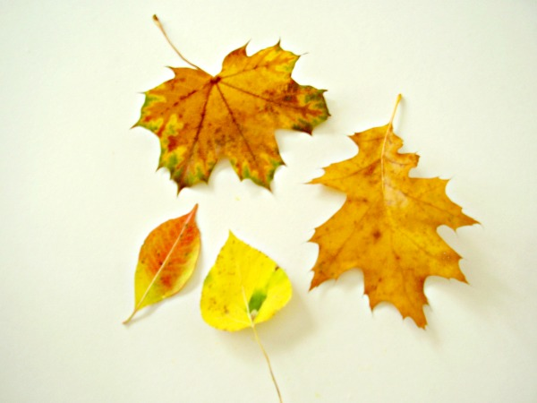 Sort leaves with preschoolers